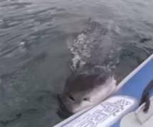L'attaque impressionnante d'une embarcation par un requin blanc