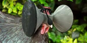 Un Oculus Rift pour poulet : l'idée hilarante d'un chercheur