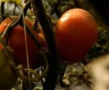Tomates : à la recherche du goût perdu sur France 5 Replay / Pluzz