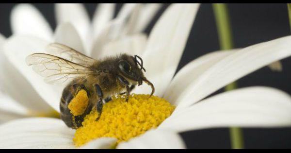 piq re de gu pe frelon abeille que faire. Black Bedroom Furniture Sets. Home Design Ideas