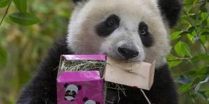 Ce panda malin aurait simulé une grossesse pour être chouchouté