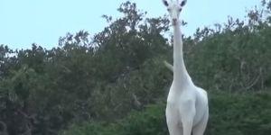 Des girafes blanches filmées au Kenya : la vidéo (rare) qui fait le buzz