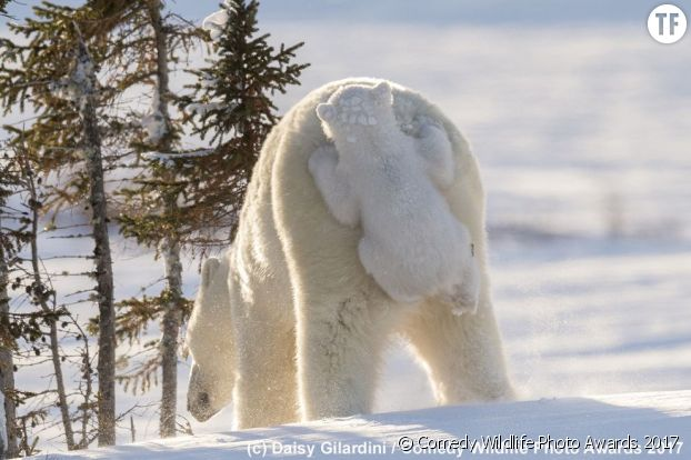 Photo de Daisy Gilardini d'un ourson polaire et de sa mère.