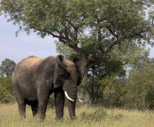 Un braconnier se fait piétiner par un éléphant et dévorer par des lions