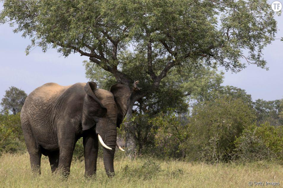 Elephant dans la réserve naturelle Kruger en Afrique du sud