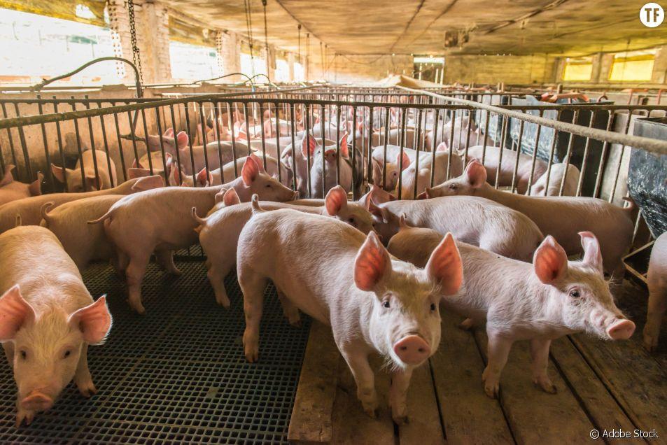 """Le Sénat rejette une proposition de loi pour un """"élevage éthique"""""""