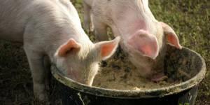 Les animaux nourris aux OGM sont en bonne santé