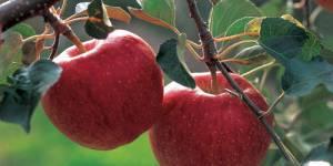Régime : pour mincir, mangez la pomme avec sa peau