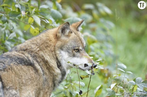 Loup d'Europe, ancêtre du chien