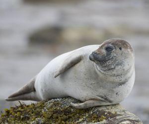 Des phoques lapidés par des touristes : une ONG anglaise condamne la barbarie