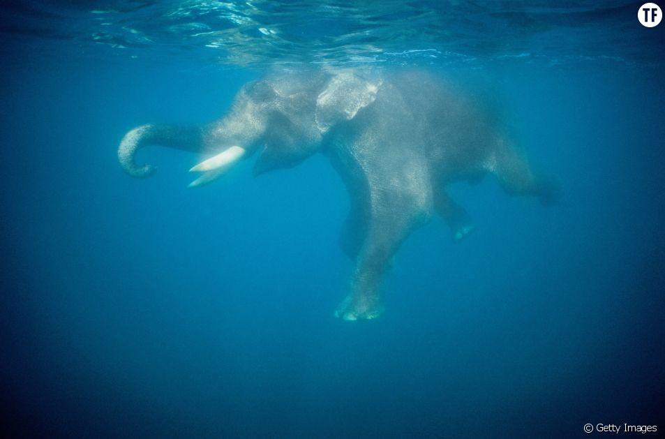 Une vidéo d'éléphants dans un aquarium d'un zoo thaïlandais choque les internautes