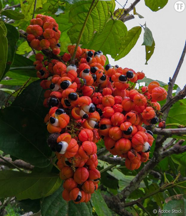 Le guarana, plante anti-fatigue