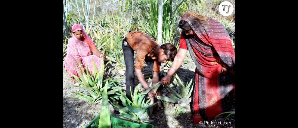 En plantant des plantes à l'aloe vera autour de leurs arbres, les habitants de Piplanti ont relancé leur économie
