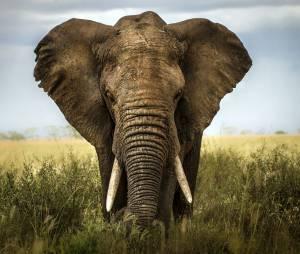 L'hécatombe des éléphants de Tanzanie : 66 % des animaux massacrés en quatre ans
