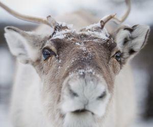 Les rennes bientôt décimés à cause du réchauffement climatique ?