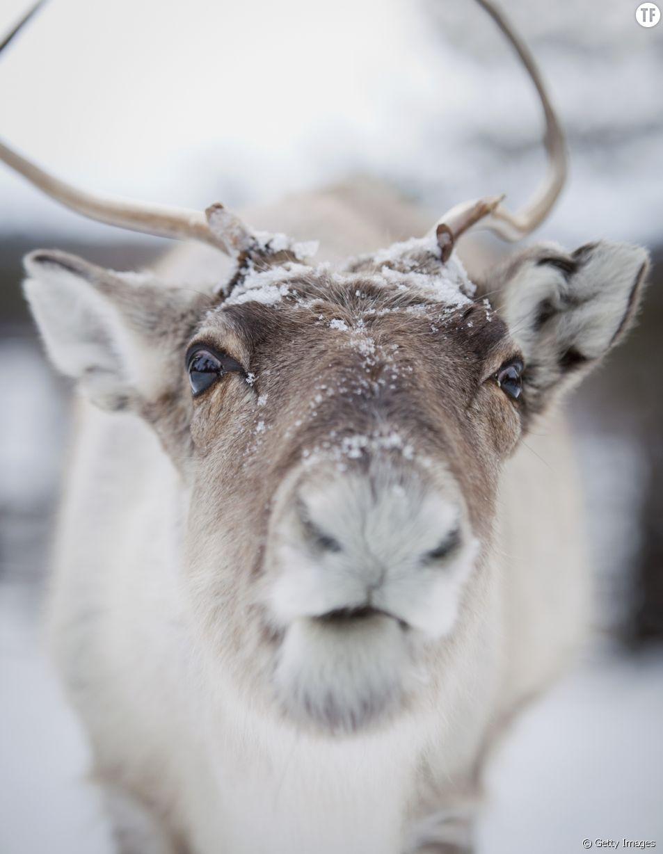 Les rennes en danger à cause du réchauffement climatique