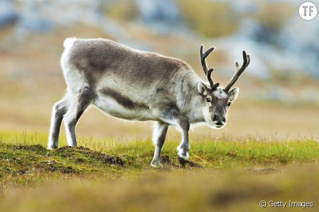 A cause du manque de nourriture en hiver, les rennes deviennent plus petits... et c'est grave