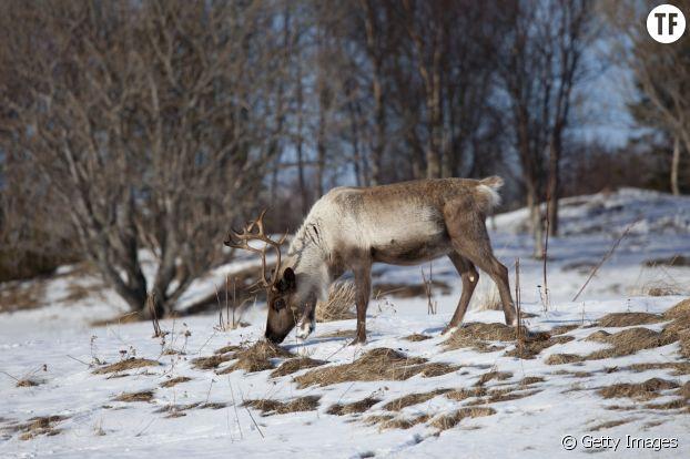 Les rennes de Svalbard en train de creuser le sol pour trouver à manger