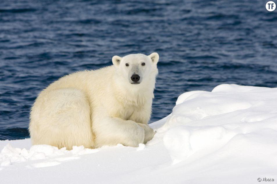 Ours polaire en Norvège