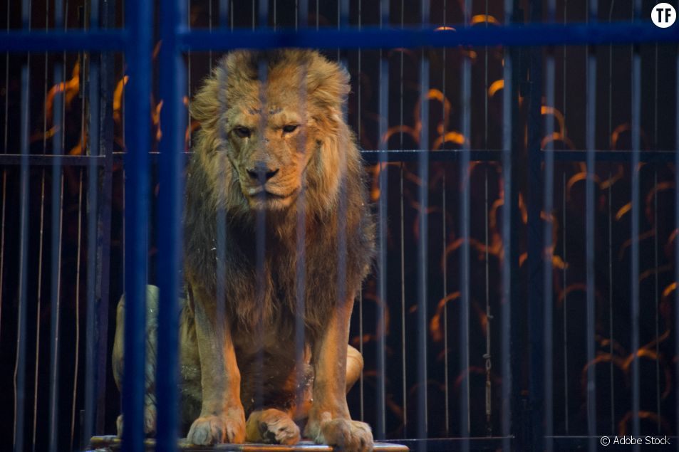 Lion en captivité dans un cirque